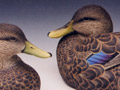 Black Duck pair