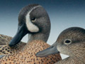 Blue-wing Teal pair 2